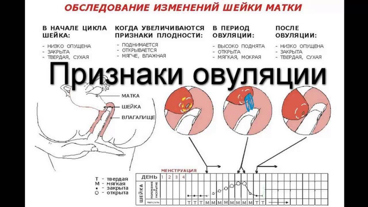 Когда наступает овуляция: симптомы, признаки и другие методы определения
