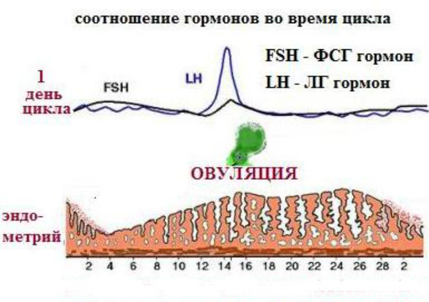 Женские гормоны по дням цикла