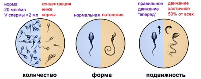 Сколько по времени активны сперматозоиды