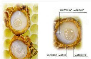 Пчелиное маточное молочко с женьшенем для лечения бесплодия